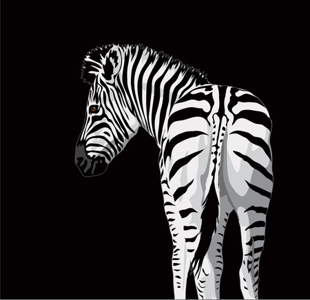 fur: Body of a zebra with a tail. Vector illustration on black background.