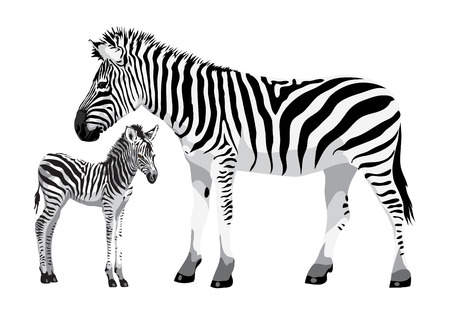 Zebra with a foal. Vector illustration.