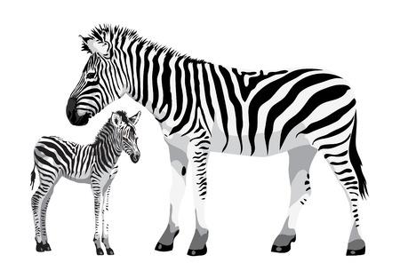 zebra heads: Zebra with a foal. Vector illustration.