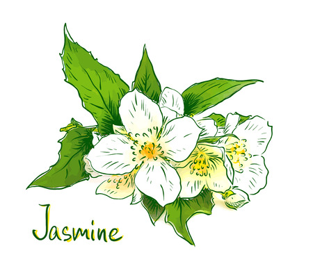 Flowers of a jasmine. Sketch with watercolor imitation texture. Vector illustration.