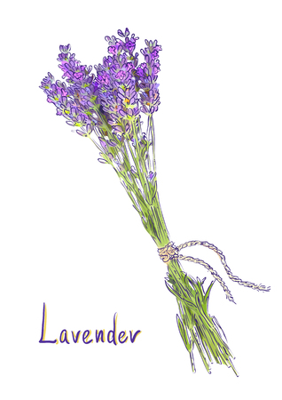 lavender flower: Hangs Lavender bunch with a jute rope. Sketch with watercolor imitation texture. Vector illustration.