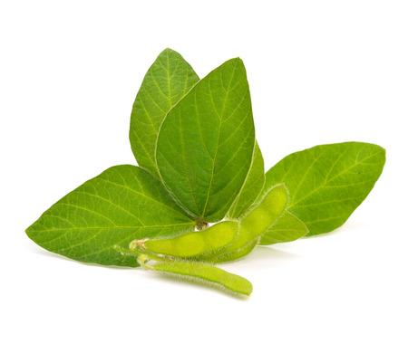 soja: Vainas de soja verdes con hojas. Aislados en backgraund blanco.