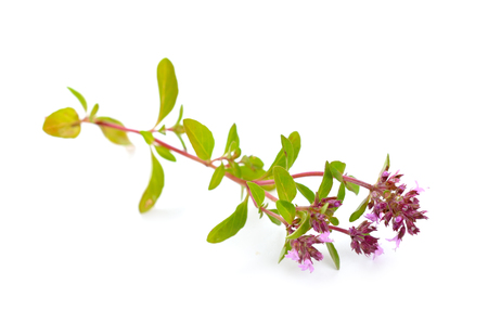 herbal background: The blossoming thyme. Isolated on white background.