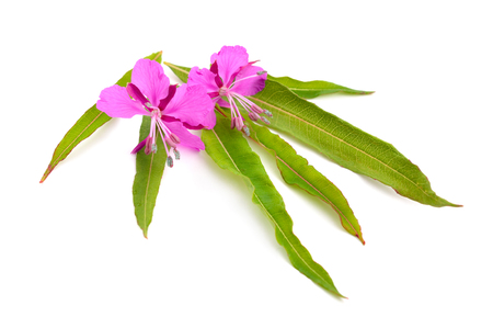 fireweed: Chamerion angustifolium, commonly known as fireweed, great willow-herb, or rosebay willowherb. Stock Photo