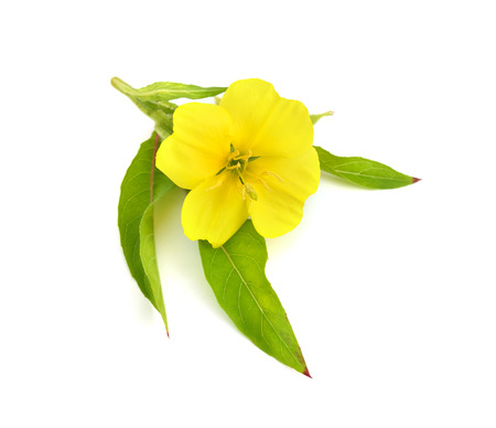 Oenothera flower isolated. 免版税图像