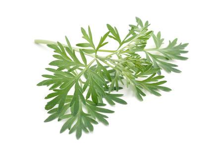 ajenjo: Artemisia absinthium aislado sobre fondo blanco.
