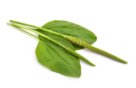 plantain herb: Greater Plantain, Plantago major or Soldiers Herb isolated. Stock Photo