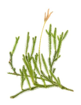 Huperzia selago (Lycopodium selago), northern firmoss or fir clubmoss Foto de archivo