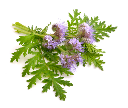 Phacelia tanacetifolia is a species of phacelia known by the common names lacy phacelia, blue tansy or purple tansy. Stock Photo