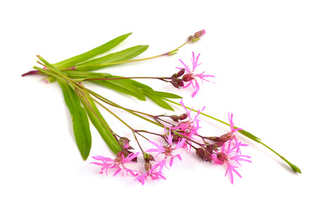 ragged robin: Lychnis flos-cuculi, commonly called Ragged-Robin. Isolated on white background.