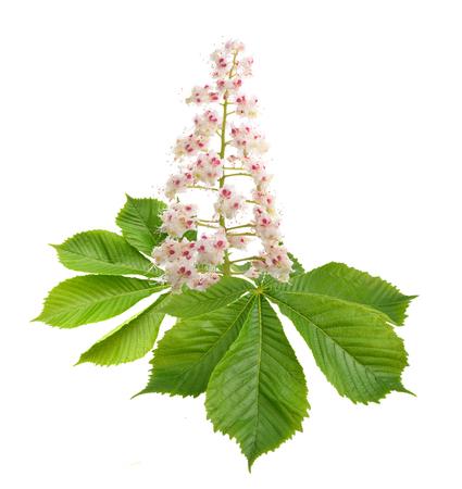 Aesculus bloem geïsoleerd op een witte achtergrond. Stockfoto