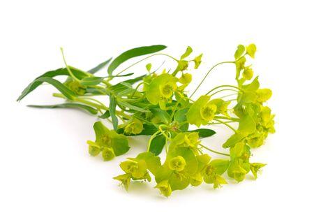 Euphorbia cyparissias, the cypress spurge. Isolated on white background. Stock Photo