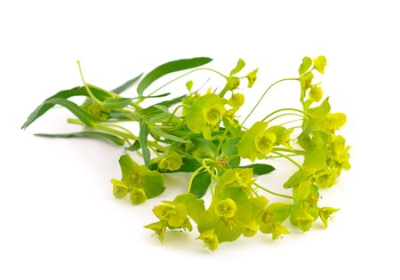 macro leaf: Euphorbia cyparissias, the cypress spurge. Isolated on white background. Stock Photo