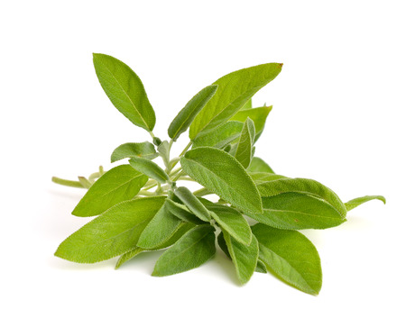 salvia: Salvia officinalis (sage, also called garden sage, or common sage) Stock Photo