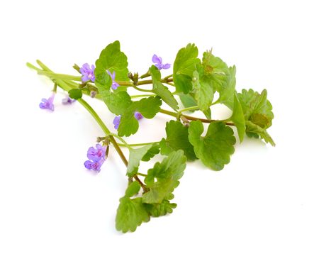 Glechoma hederacea, ground-ivy, gill-over-the-ground, creeping charlie, alehoof, tunhoof, catsfoot, field balm, run-away-robin.