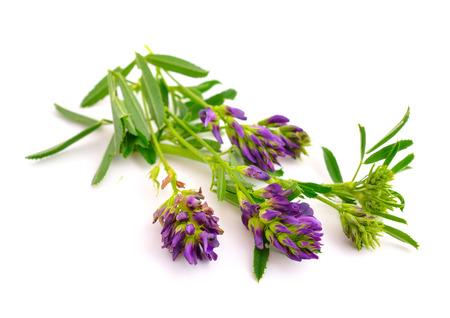 alfalfa: Medicago, Alfalfa, Medicago sativa, lucerne. Isolated on white background. Stock Photo