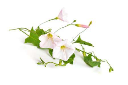 flourished: Convolvulus arvensis, field bindweed. Isolated on white background. Stock Photo