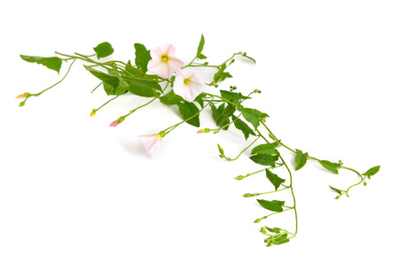arvensis: Convolvulus arvensis, field bindweed. Isolated on white background. Stock Photo