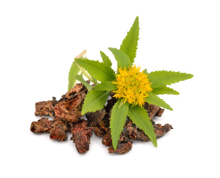 rhodium: Rhodiola rosea (commonly golden root, rose root, roseroot, western roseroot, Aarons rod, Arctic root, kings crown, lignum rhodium, orpin rose). Roots with flowers. Isolated on white background.