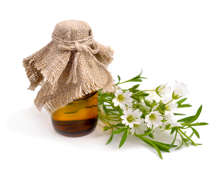 chickweed: Cerastium (mouse-ear chickweed) with pharmaceutical bottle. Isolated on white background.