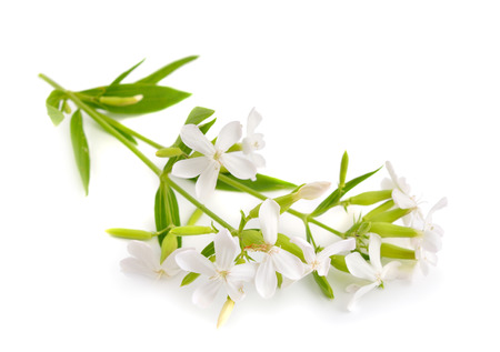 william: Saponaria officinalis, soapwort, bouncing-bet, crow soap, wild sweet William,  and soapweed. Isolated. Stock Photo