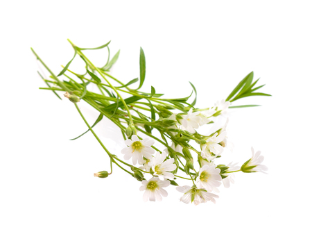 chickweed: Cerastium (mouse-ear chickweed). Isolated on white background.