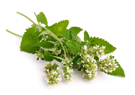 catnip: Nepeta cataria, commonly known as catnip, catswort, or catmint