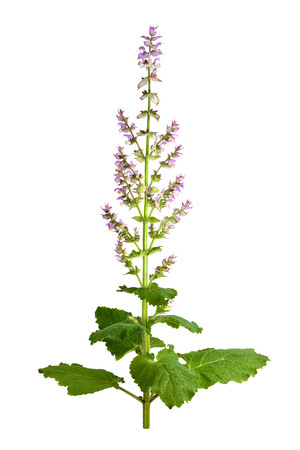 sage: Salvia sclarea, clary, or clary sage, is a biennial or short-lived herbaceous perennial in the genus Salvia. Isolated on white background.