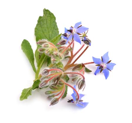 Borage flowers isolated on white background. Stock Photo