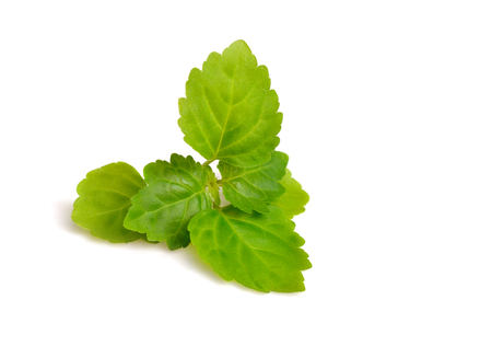 Patchouli sprig. Isolated on white background.
