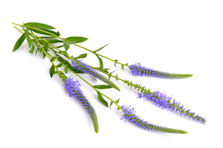 speedwell: Veronica longifolia, known as garden speedwell or longleaf speedwell. Isolated. Stock Photo