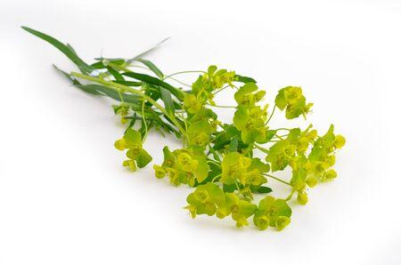 macro flowers: Euphorbia cyparissias, the cypress spurge. Isolated on white background. Stock Photo