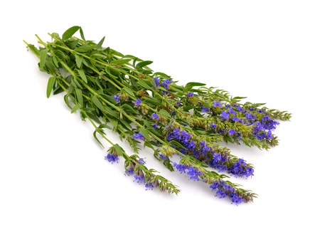 hyssop: Hyssopus officinalis or hyssop. Isolated on white background.