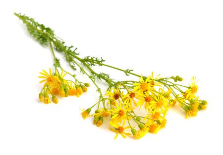 stinking: Jacobaea vulgaris, Senecio jacobaea, ragwort, common ragwort, stinking willie, tansy ragwort, benweed, St. James-wort, ragweed, stinking nannyninnywilly.