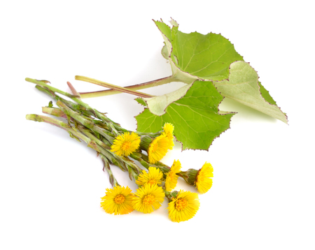 Coltsfoot flowers with leawes isolated.