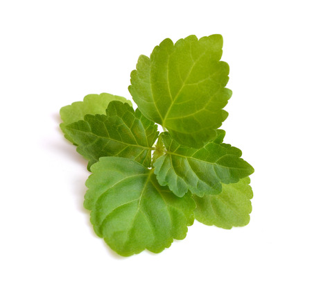 officinal: Sprig patchouli  Isolated on white background.