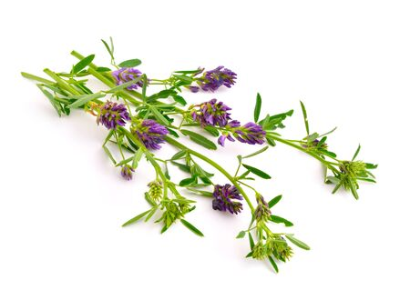 uncultivated: Medicago, Alfalfa, Medicago sativa, lucerne. Isolated on white background. Stock Photo