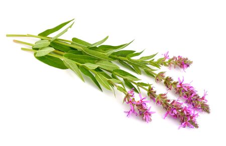Lythrum salicaria, purple loosestrife, spiked loosestrife, or purple lythrum. Isolated.