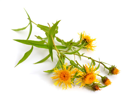 highlands region: Inula britannica, the British yellowhead or meadow fleabane