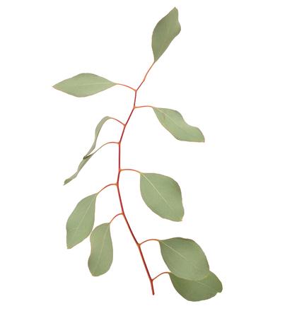 twig: Eucalyptus twig. Isolatedon white background.