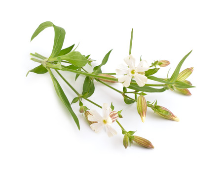 Silene. Common names include campion and catchfly. Isolated. Stock Photo