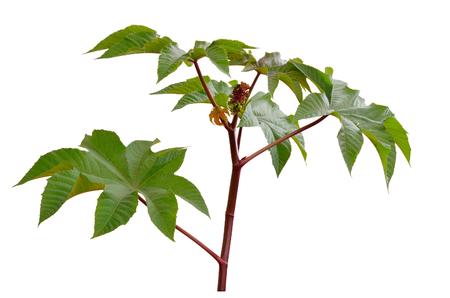 cathartic: Ricinus communis, castorbean or castor-oil-plant. Isolated onwhite background.