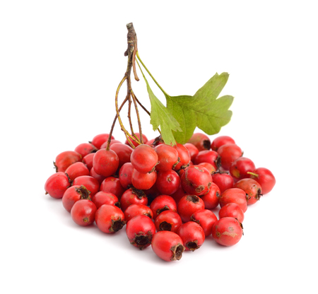 Crataegus, commonly called hawthorn, thornapple, May-tree, whitethorn or hawberry. Isolated on white background.