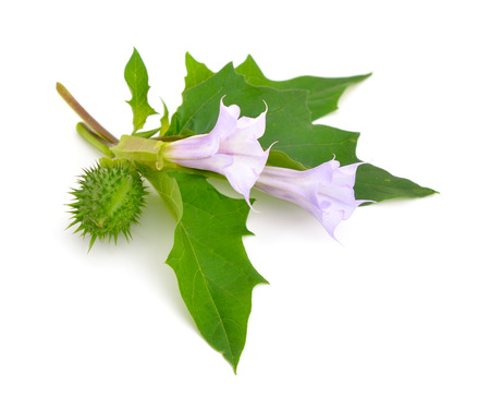 Datura, daturas, devil's trumpets, angel's trumpets. Isolated on white background. Standard-Bild