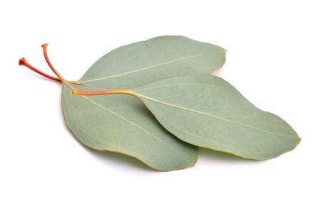 feuille arbre: Feuilles d'eucalyptus. Isolé sur fond blanc.