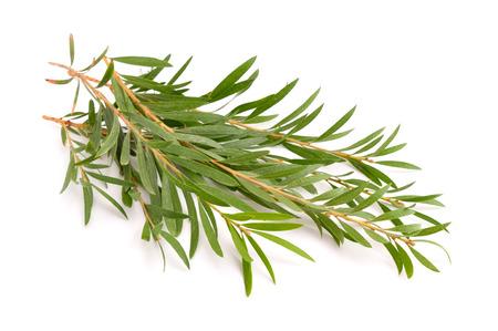 멜라루카 나뭇 가지. 흰색 배경에 고립.