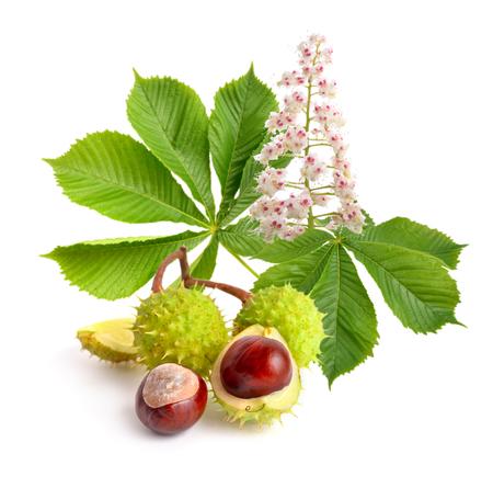castaÑas: Frutos de castaño (Aesculus) con flores y flores. Aislado sobre fondo blanco Foto de archivo
