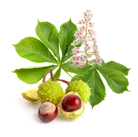 Paardkastanje (Aesculus) Vruchten Met Leawes En Bloem. Geïsoleerd op een witte achtergrond Stockfoto