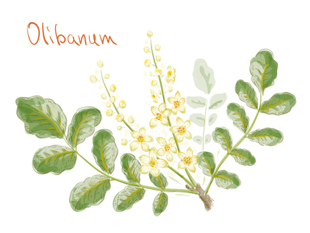 Boswellia sacra (commonly known as frankincense or olibanum-tree) flowers with leaves. Watercolor imitation. Vector illustration.