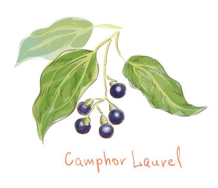 Camphor laurel. watercolor imitation. Vector illustration.